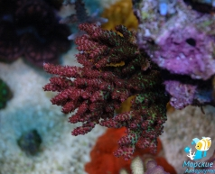 Acropora ORA red planet (under MH+Т5)