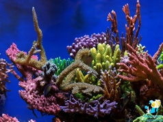 Reef aquarium with SPS corals