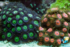 Palythoa and zoanthuses