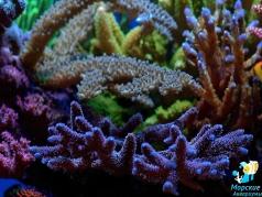 Acropora millipora blue