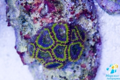 Ultimate Acanthastrea Blue Lagoon