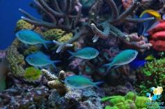 Хромис голубой (Chromis viridis)