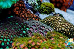 Зоантусы разноцветные