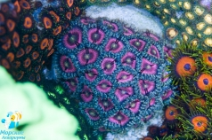Ultra pink palythoa